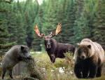 Предлагаем дикое мясо лось кабан медведь жир струя бобра.