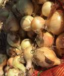 Лук репчатый оптом с полей от производителя