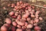 Картофель от производителя Курская область