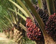 Пальмовое масло в продуктах питания и косметике